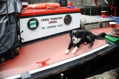 PIC BY BEN FURST/MERCURY PRESS (PICTURED: A DOG ENJOYS A NAP ONBOARD A CANAL BOAT AT THE BURNLEY CANAL FESTIVAL .PIC DATE 28.08.2016) These beautiful pictures show families flooding the banks of Burnley canal to mark the 200th birthday of the Leeds-Liverpool waterway this Bank Holiday weekend. Artists joined dancers, bands, boaters and residents to stage a 'creative revolution' with an explosion of colour, art and family fun for this year's Burnley Canal Festival. To celebrate the bicentenary of the 127-mile canal, festival participants donned traditional Victorian dress while venues along the water were adorned with new artworks and performances. And while a myriad of colourful boats and barges filled the waterway, kids had the chance to decorate their own less water-resistant vessel made of cardboard. Drawing on the heritage of Burnley as a vital cog in the wheel on industrialisation, revellers were also treated to maypole dancing, Punch and Judy shows and folk dancing SEE MERCURY COPY